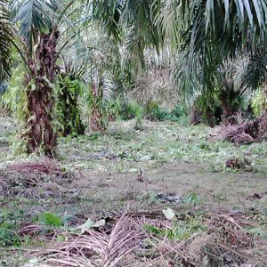 Green the palms project, (GTP-Africa)
